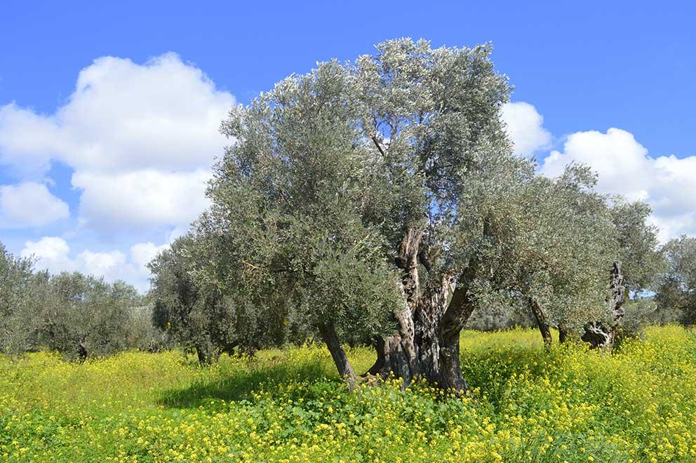 anıt-zeytin-ağacı